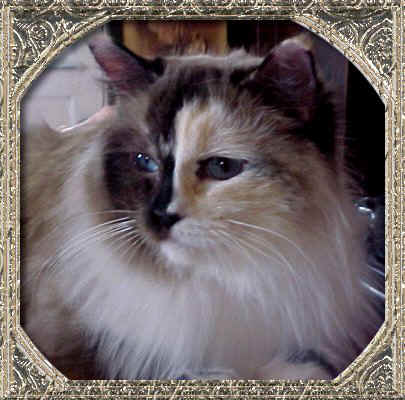 seal tortie point mitted Ragdoll cat